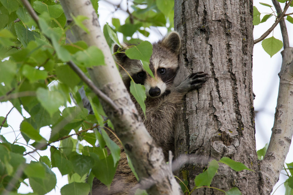 what to do about raccoons in florida