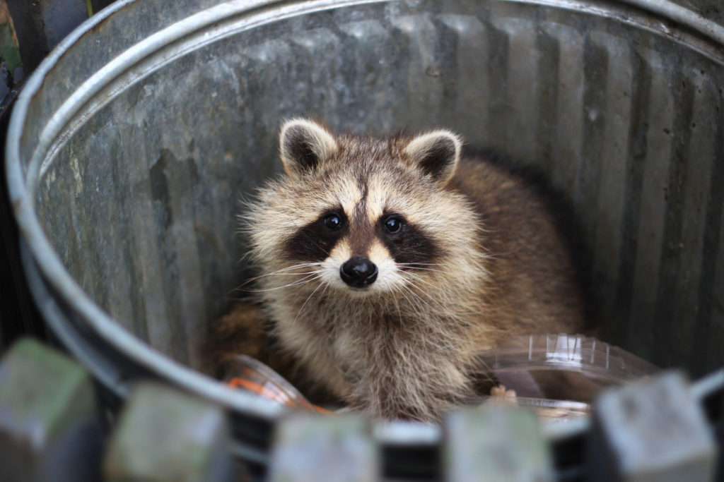 how to prevent raccoons in the trash